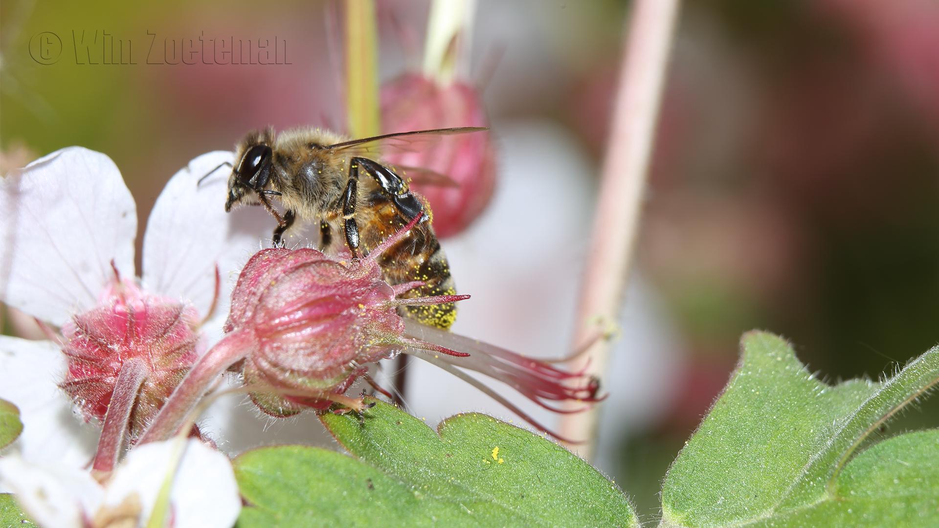 IMG_9211 Honey Bee
