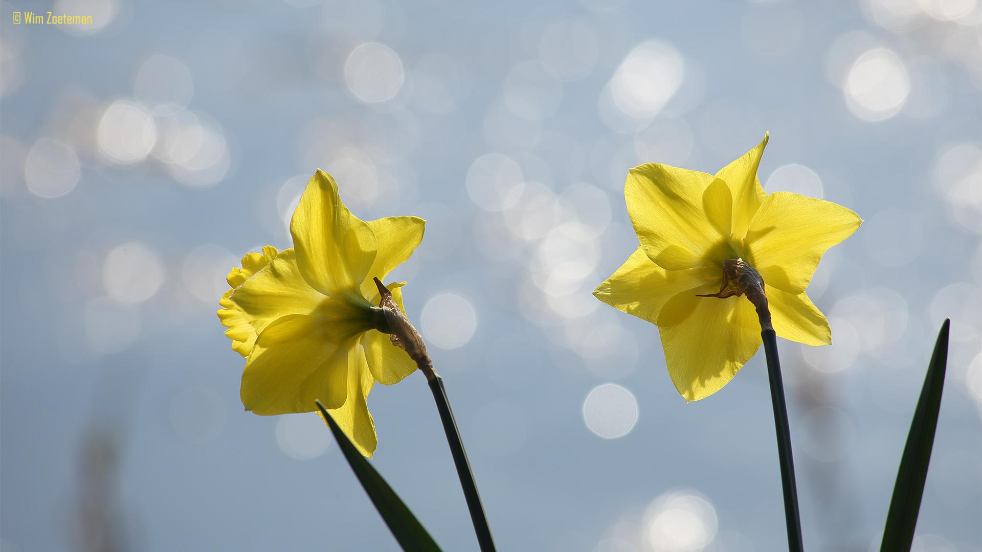IMG_7288 Narcis