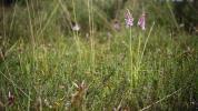 Gevlekte orchis